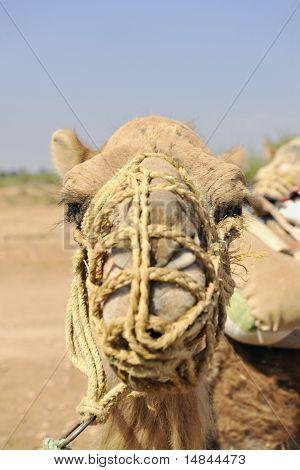 wild camel animal on tourist safari tour poster
