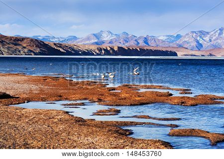 Bar-headed Goose Flying Off At Manasarovar Lake In Western Tibet