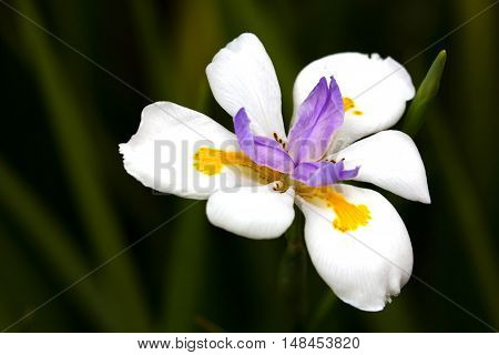 Pretty African iris plant bloom or flower