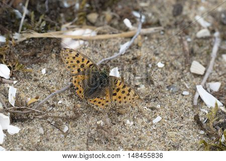 Queen of Spain Fritillary (Issoria lathonia) butterfly resting on sand