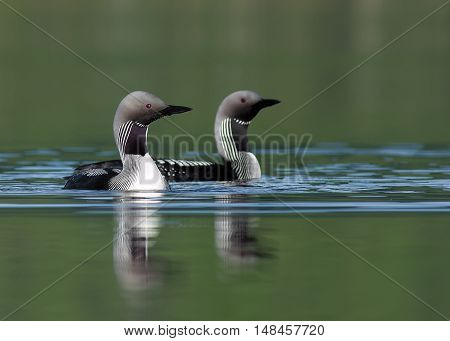 Loons from Norway. A wunderfull bird in a fabtastic land.