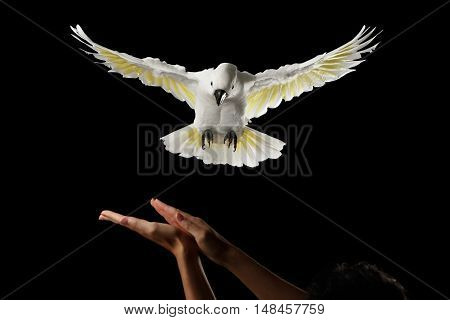 Flying Crested Cockatoo White alba to human hand, training, Umbrella, Indonesia, isolated on Black Background, wingspan wings