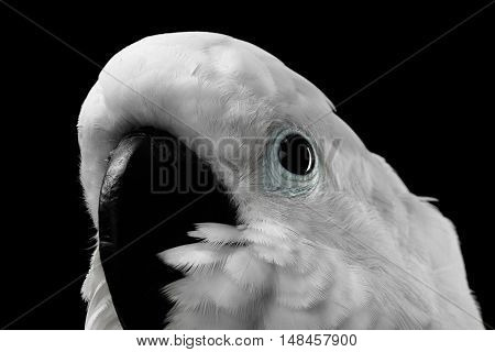 Close-up Crested Cockatoo White alba, Umbrella, Funny Looking in Camera, Indonesia, isolated on Black Background