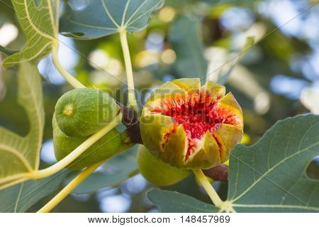 Figs ripening on a fig tree. Cracked ripe fig.
