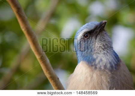 Florida scrub jay up close with head tilted back