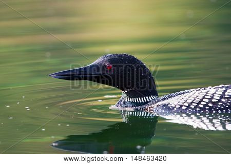 Close-up View of the Common Loon swimming, head portrait, Vancouver Island, Canada