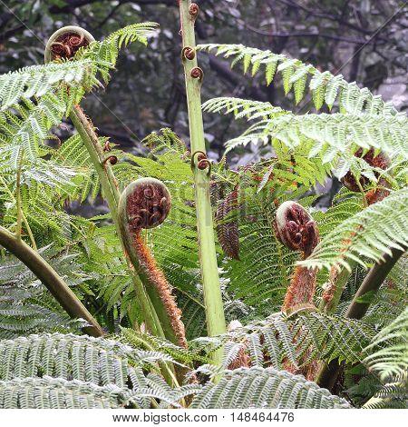 Leaf sprouts of an Australian tree fern Cyathea cooperi