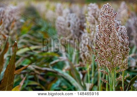 Bushes cereal and forage sorghum plant one kind of mature and grow on the field in a row in the open air. Harvesting.