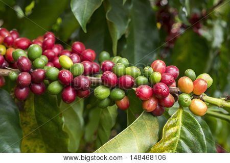 Coffee cherries crop bean farm organic agriculture