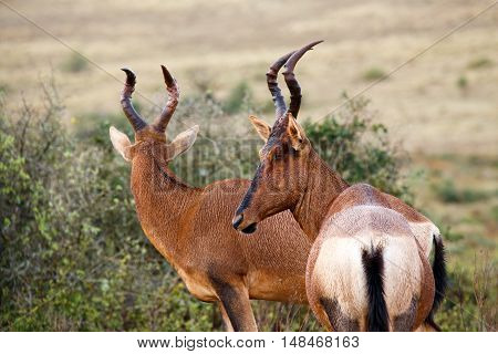 Red Hartebeest - Look This Way For The Camera
