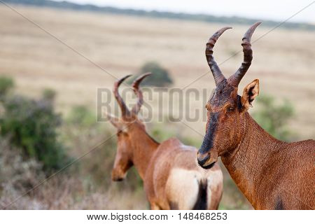 Close Up Of A Wet Red Hartebeest