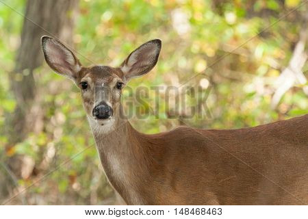 Whitetailed Deer Doe