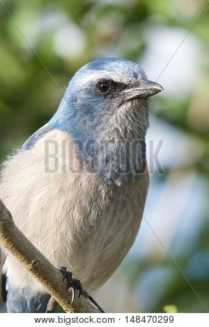 Scrub jay portrait. Up close of a scrub jay's head and chest