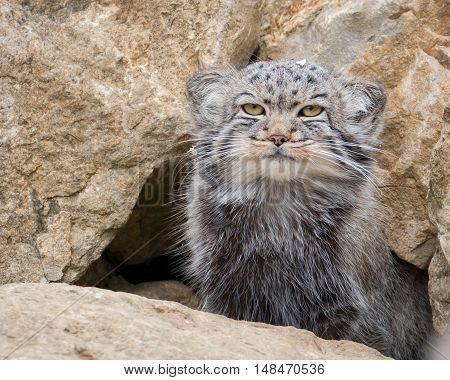 Pallas cat between rocks in a safari park