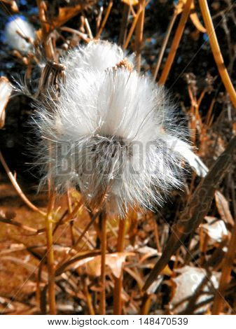 A picture of flower seeds ready to fall off the stalk