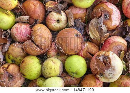 Picture Of Rotten Apples In A Garden