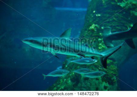Grey reef shark (Carcharhinus amblyrhynchus).