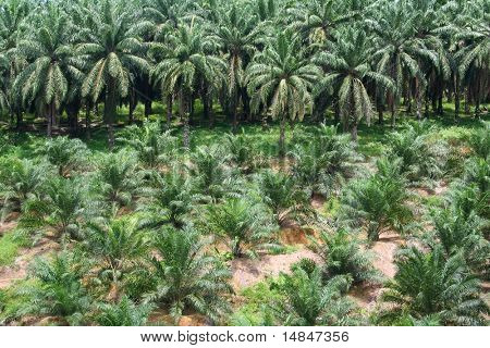 Palm oil plantation, with both young and mature palm trees