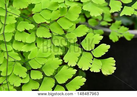 fern leaf in the garden, Adiantum, maidenhair fern