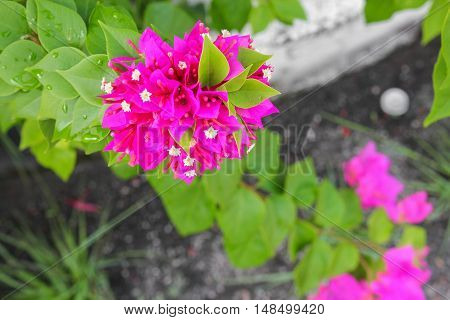 Bougainvillea Paper flower purple beautiful natural in garden And copy space