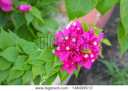 Blur blurred Bougainvillea flower Paper purple beautiful natural in garden for background
