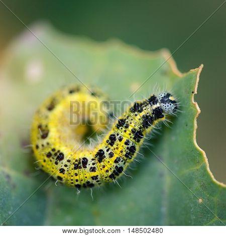 Pieris Brassicae Caterpillar Pest Eating Leaf. Shallow Depth Of Field, Focus On Caterpillar