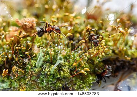 Natural animal background with red ant closeup in a moss near water