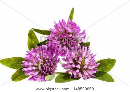 Flower of pink clover isolated on white background close up .
