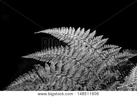 soft focus and blur Silver fern leaf in black and white over black background Thailand