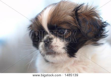 Fragile Pekingese Puppy