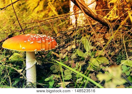 Large fly agaric on the sun-drenched meadow in autumn or summer