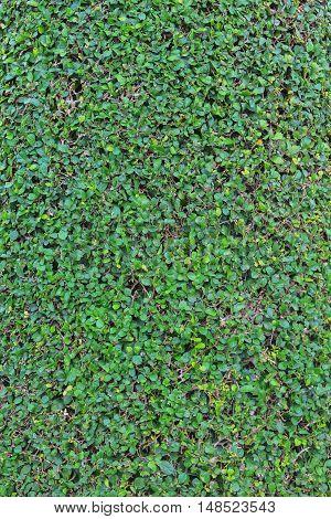 green leaf texture Siamese rough bush Streblusasper Lour, for background Image Vertical