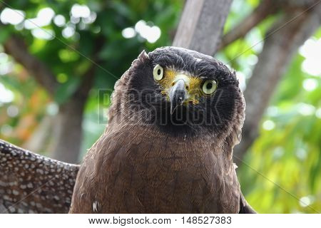 Falcon Peregrine Close up and soft-focus blurred background