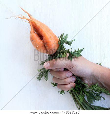 crop grown unusually orange vegetable in the hand / triple mutant carrots