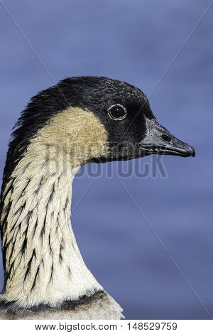 Close up of a nene (Branta sandvicensis) also known as n