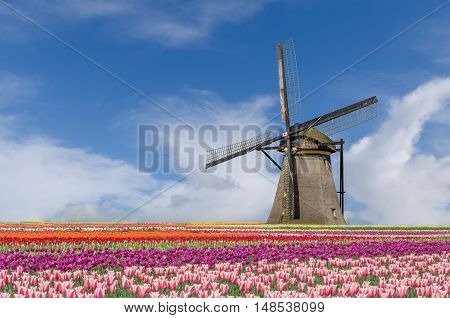 Landscape of Netherlands bouquet of tulips and windmills in Amsterdam Netherlands.