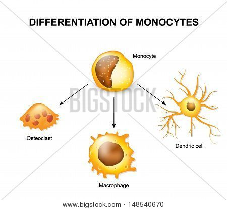 Differentiation of monocytes. Osteoclast Macrophage and Dendric cell