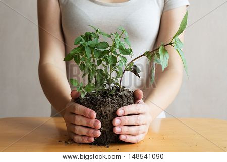 Woman with a basil sprout in her hands. She is holding the sprout. She is unrecognizable.