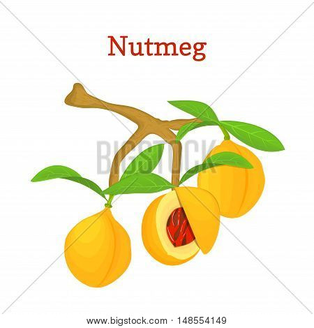 Vector illustration of a nutmeg. Branch nutmeg tree with three yellow fruits and green leaves on white background. it can be used as spice packaging design element, printing brochures vegetarian diet
