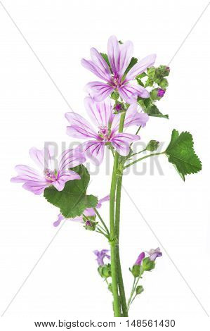 Mallow Or Malva Flowers Isolated On White