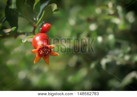 Pomegranate flower on tree in orchard. Selective focus