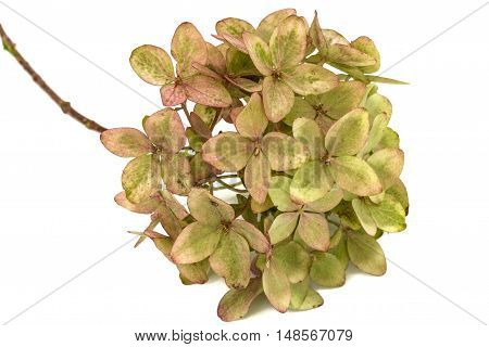 Inflorescence of hydrangea close-up isolated on white background