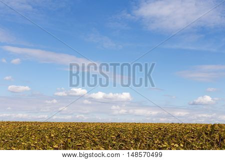 Ripe sunflowers on a background of blue sky autumn
