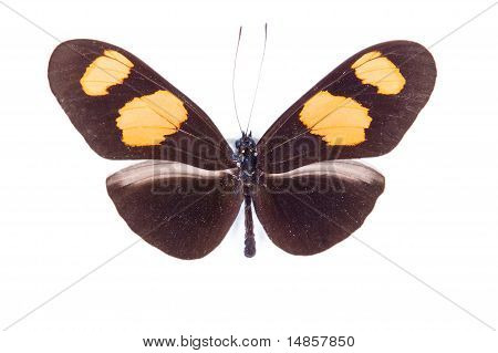 Black And Orange Butterfly Heliconius Erato Isolated