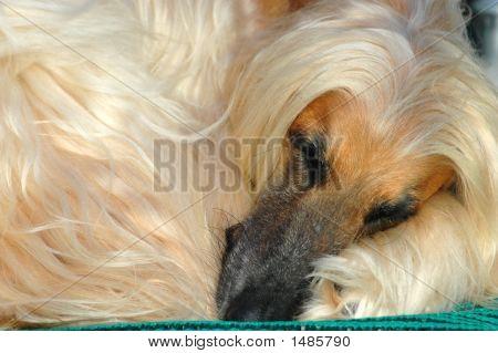 Afghan Hound Dog Sleeping