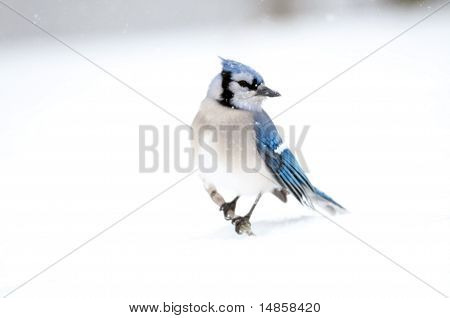 Blue jay perched on a stick sticking out of the snow following a winter storm poster