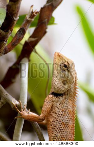 Brown thai lizard on the tree, animal concept