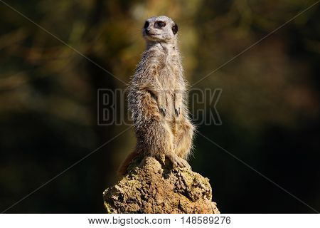 The meerkat or suricate sitting on a rock