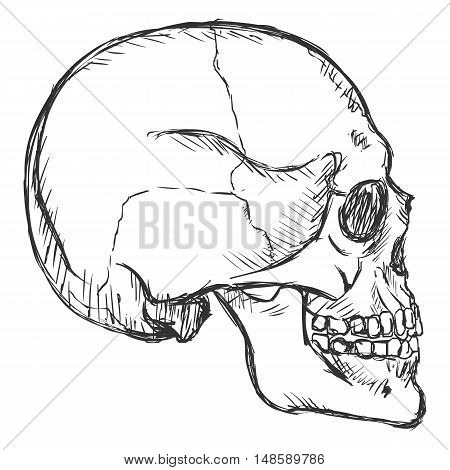 Vector Sketch Side View Skull