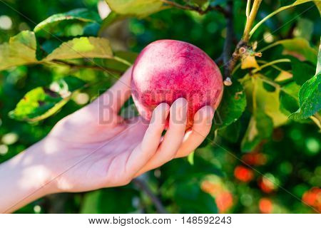 woman hand picking red apple from a tree in summer